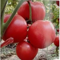 亳州西红柿苗 硬粉西红柿苗基地