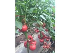 常德西红柿嫁接苗批发 基地西红柿苗批发